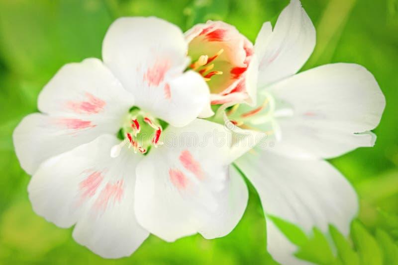 Fundo de jardinagem brilhante bonito da flor da flor, o verde e o branco imagens de stock