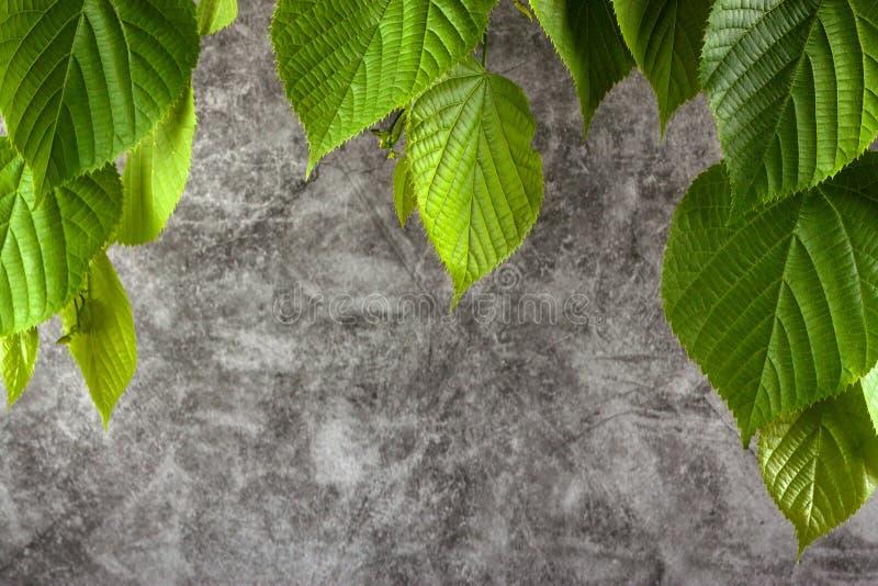 Fundo de mármore cinzento com as folhas novas do Linden fotos de stock royalty free