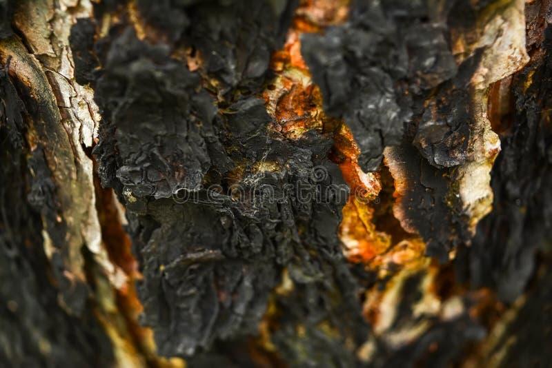 Fundo de madeira do sumário da textura Casca de árvore carbonizada no abeto foto de stock royalty free