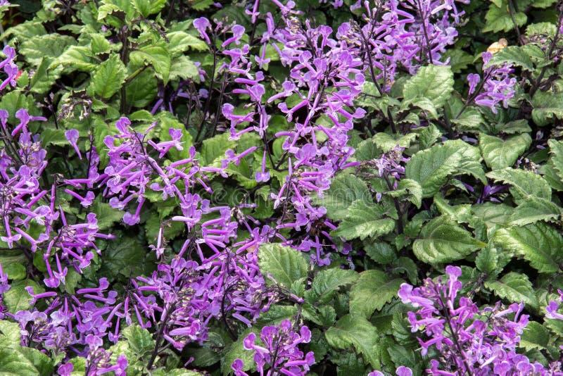 Fundo de Mona Lavender Plectranthus fotografia de stock