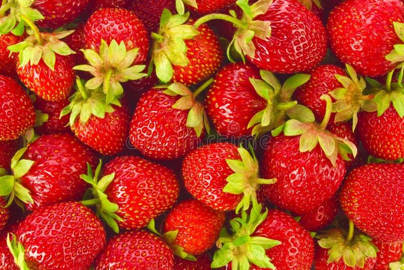 Fundo de morangos orgânicas maduras da exploração agrícola foto de stock royalty free