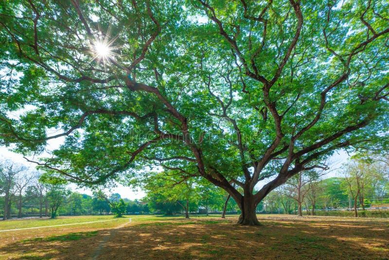 Fundo de ramos de árvore com raio verde da folha e do sol dentro fotografia de stock royalty free