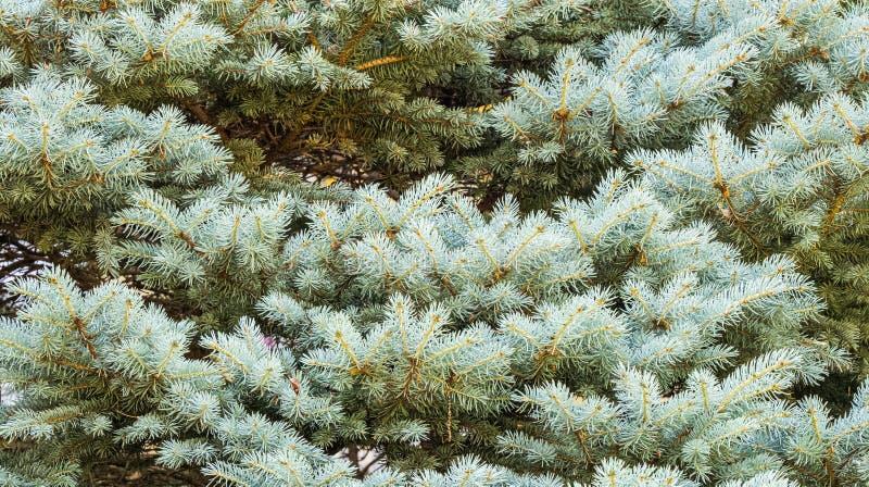 Fundo de ramos sempre-verdes do abeto vermelho ou do abeto fotografia de stock