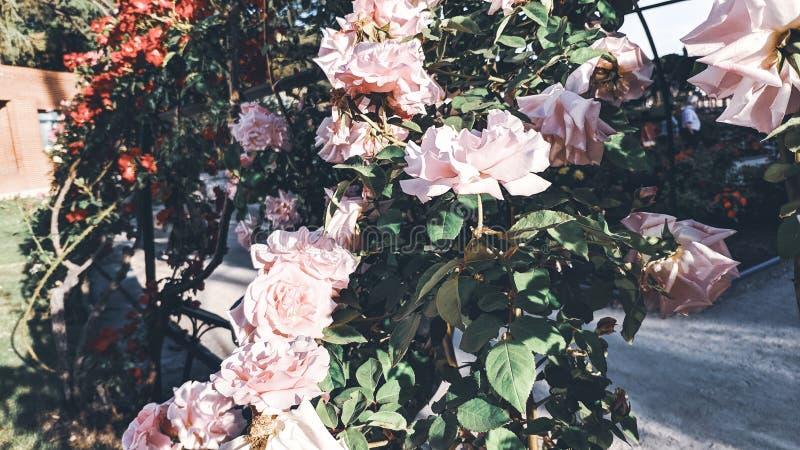 Fundo de Rosebush das rosas brancas fotos de stock royalty free