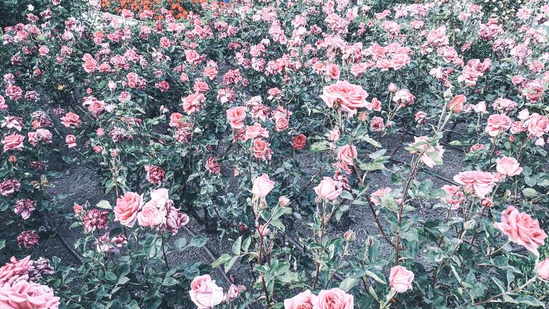 Fundo de Rosebush de rosas cor-de-rosa fotos de stock royalty free