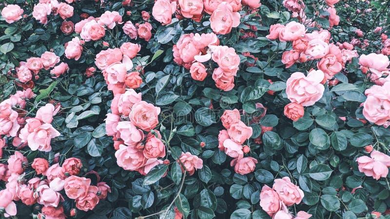 Fundo de Rosebush de rosas cor-de-rosa foto de stock