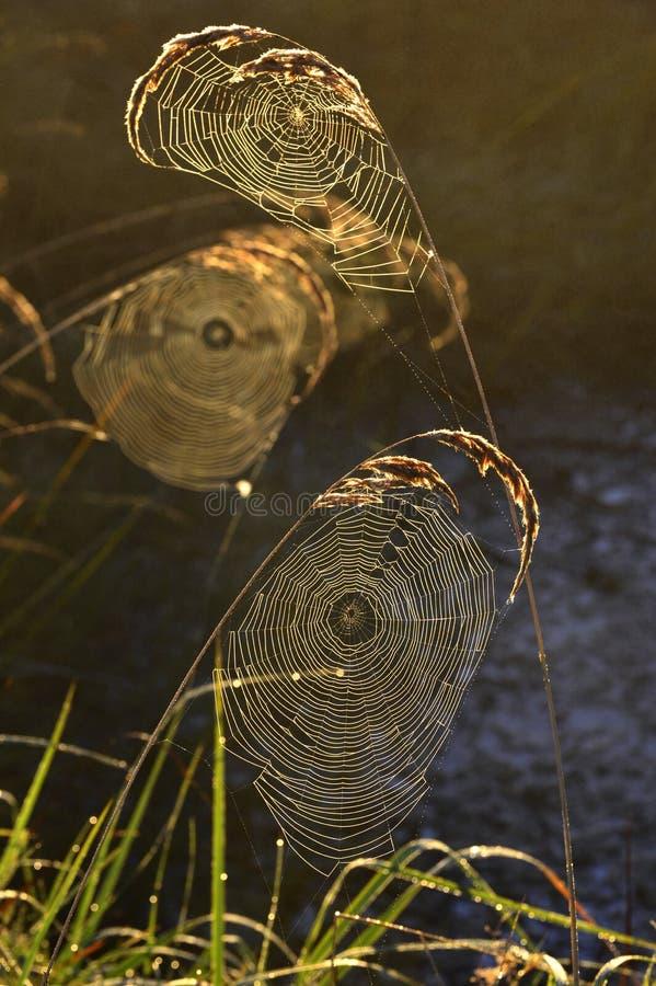 Fundo de Spiderweb imagem de stock