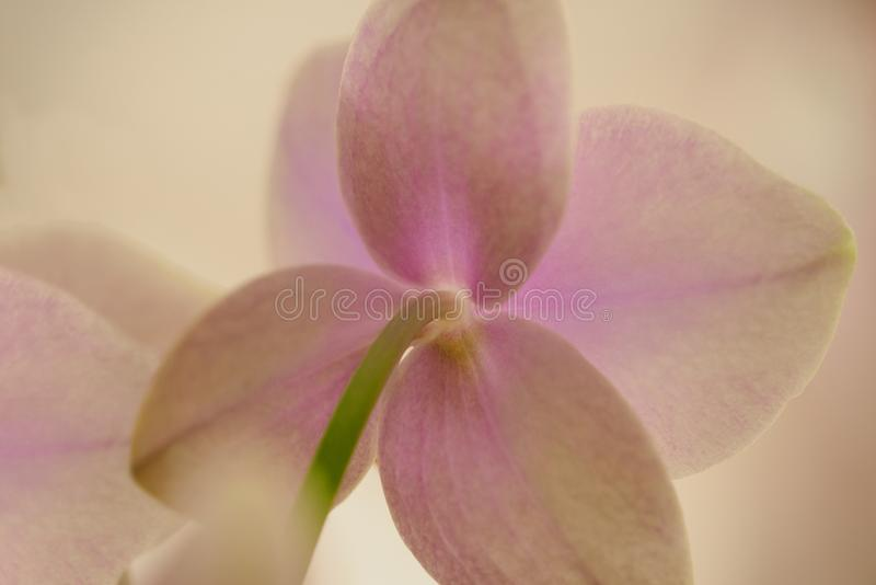 Fundo de um close-up delicado da flor da orquídea e de um fundo dos tons da cor pastel da luz fotos de stock royalty free