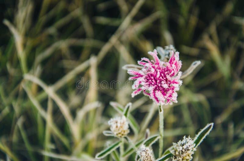 Fundo de uma flor coberta com a geada imagens de stock royalty free