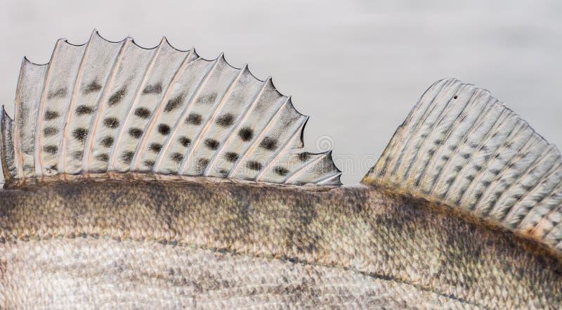 Fundo de Zander Fish Scales e da aleta fotografia de stock