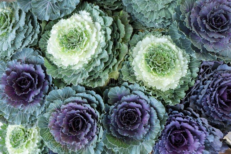Fundo decorativo das flores da couve da Brassica Oleracea decorativa das couves da vista superior imagem de stock royalty free