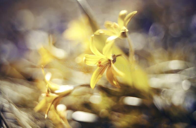 Fundo defocused abstrato com o lutea de Gagea da flor ou a estrela de Belém amarela foto de stock