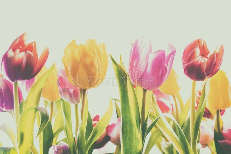 Fundo desvanecido do vintage de tulipas frescas da mola fotografia de stock