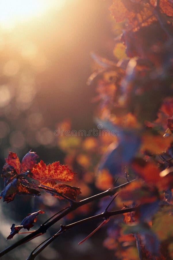 Fundo do alargamento do sol dos vinhedos do outono foto de stock royalty free