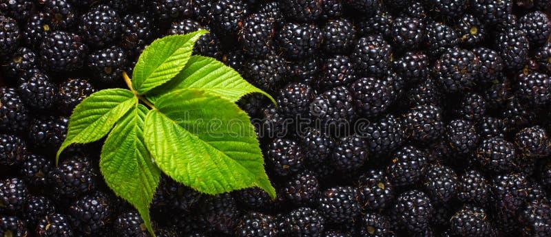 Fundo do alimento de Blackberry Bagas frescas e folha verde fotos de stock royalty free
