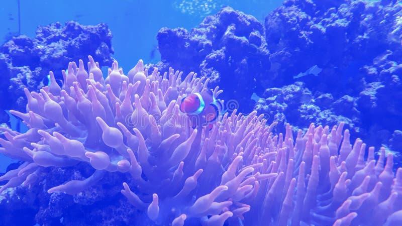 Fundo do aquário com os clownfish no vidro imagem de stock