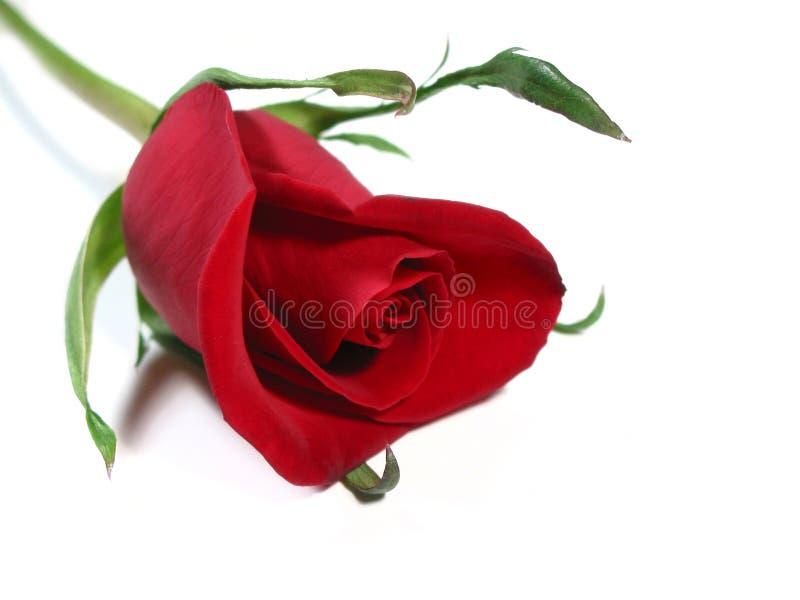 Fundo do branco da rosa do vermelho imagem de stock royalty free