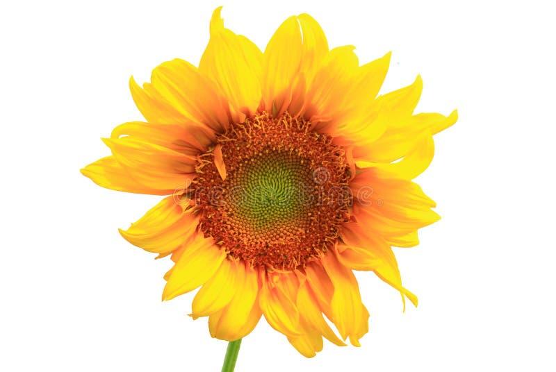 Fundo do branco de Sunfloweron imagem de stock