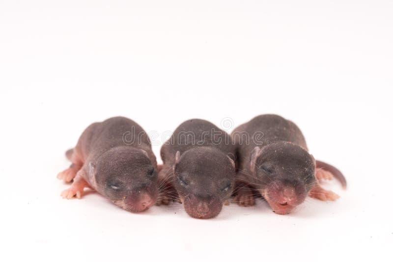 fundo do branco do teste da ciência dos ratos do bebê foto de stock
