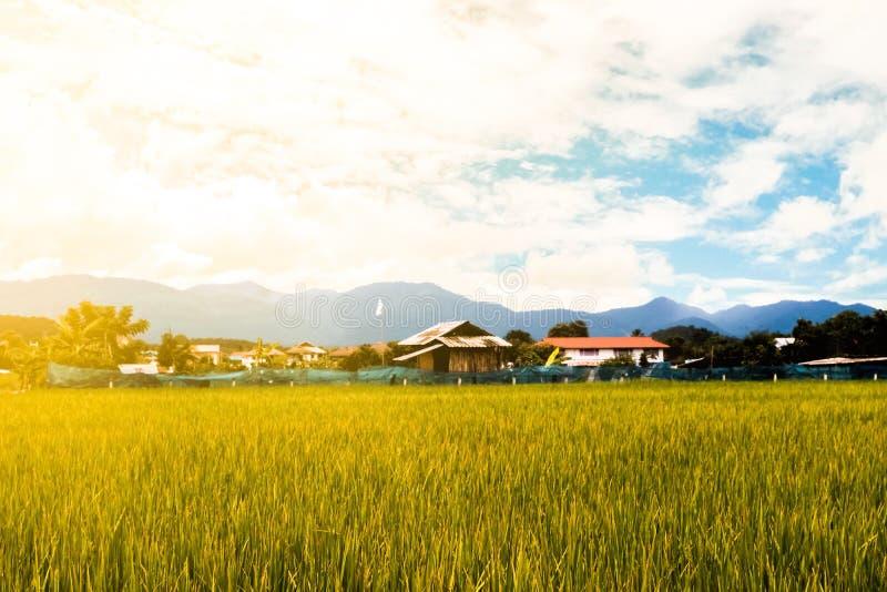 Fundo do campo do arroz foto de stock