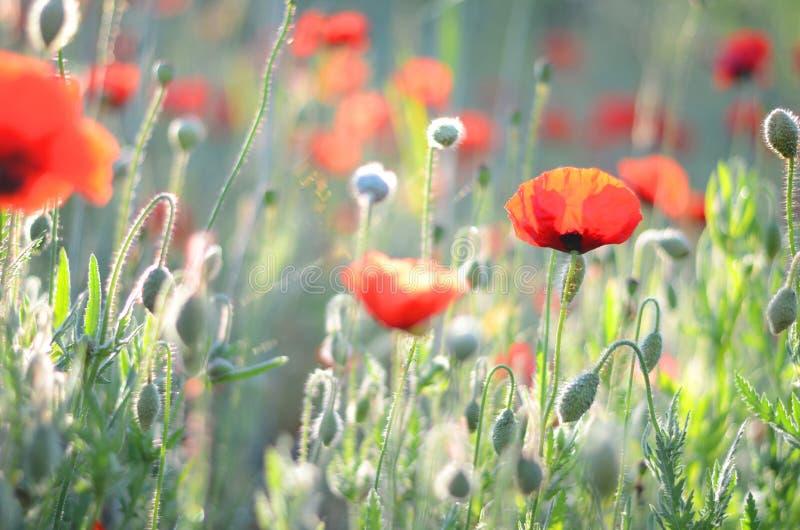 Fundo do campo da papoila Prado do ver?o com papoilas vermelhas Fundo da natureza Flores vermelhas Gramado na luz solar Manh? do  fotos de stock royalty free