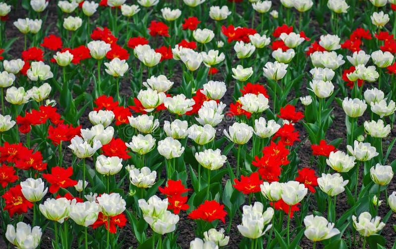 Fundo do campo das tulipas fotografia de stock