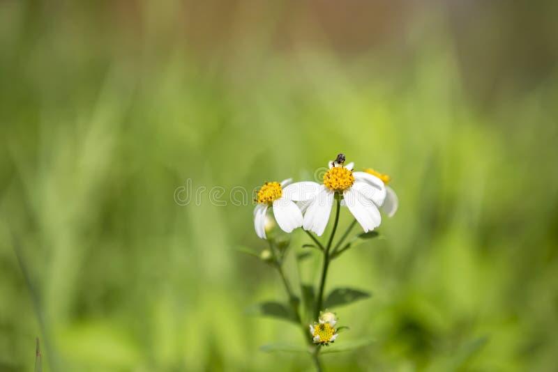 Fundo do conceito da natureza da flor branca sobre o fundo verde borrado do campo fotos de stock royalty free