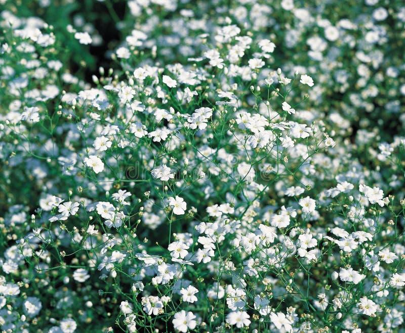 Fundo do Gypsophila & do x28; baby& x27; s-breath& x29; flores, conceito do casamento fotos de stock