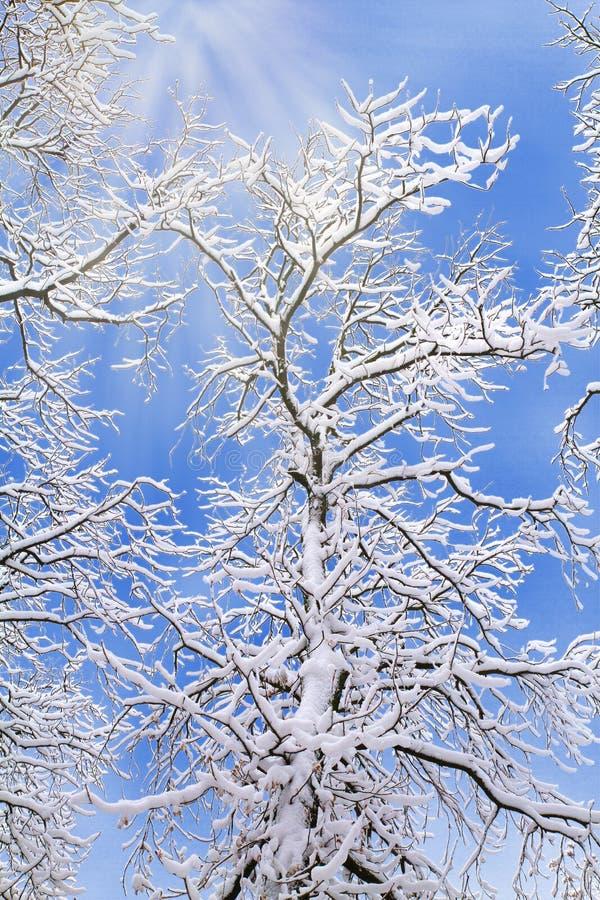 Fundo do inverno de ramos de árvore nevados contra o céu azul imagens de stock royalty free