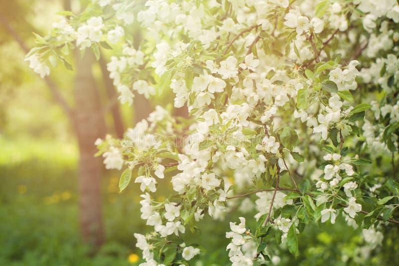 Fundo do jardim de flores da mola, árvore de Apple da flor imagem de stock royalty free