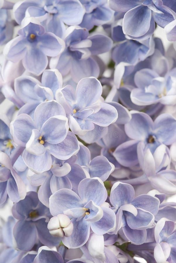 Fundo do Lilac fotos de stock