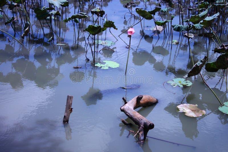 Fundo do log de Lotus Pond Reflections Ripples Wind fotos de stock royalty free