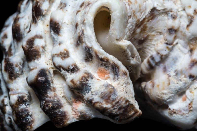 Fundo do macro espiral branco do close-up da concha do mar isolado no preto Textura da concha do mar do molusco fotos de stock