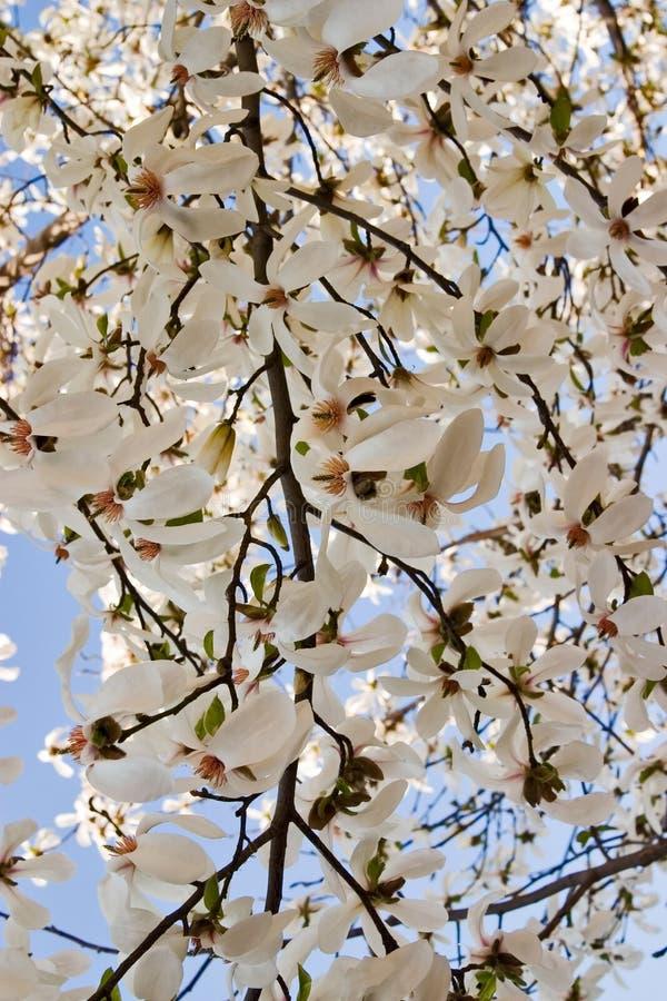 Fundo do Magnolia fotos de stock
