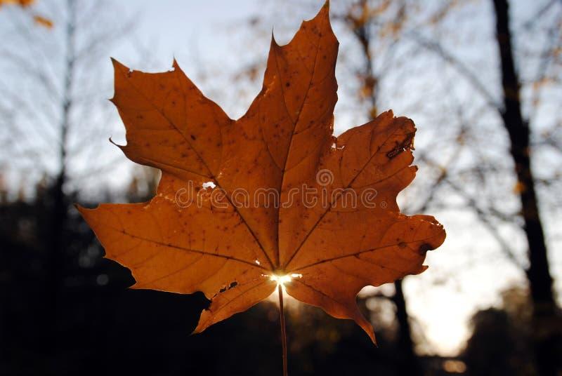 Fundo do outono A última folha de bordo em um ramo contra um fundo azul do céu de turquesa incandesce no close-up do sol na natur imagem de stock royalty free