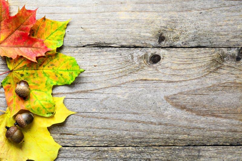 Fundo do outono com folhas de bordo e as bolotas caídas foto de stock royalty free