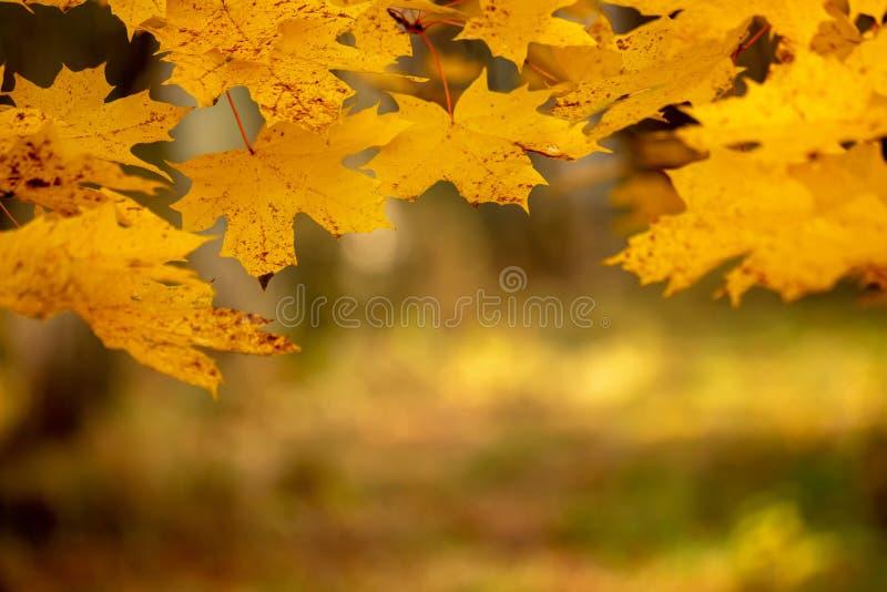 Fundo do outono com folhas de plátano fotografia de stock royalty free