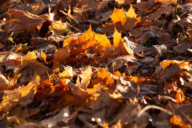 Fundo do outono com folhas de plátano imagem de stock