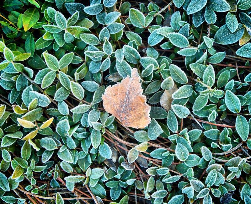 Fundo do outono com grama verde na geada e em uma folha inoperante foto de stock royalty free