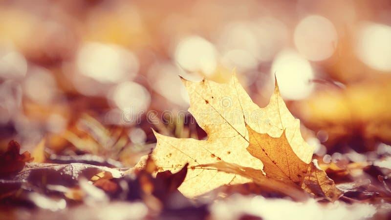 Fundo do outono das folhas de bordo caídas foto de stock
