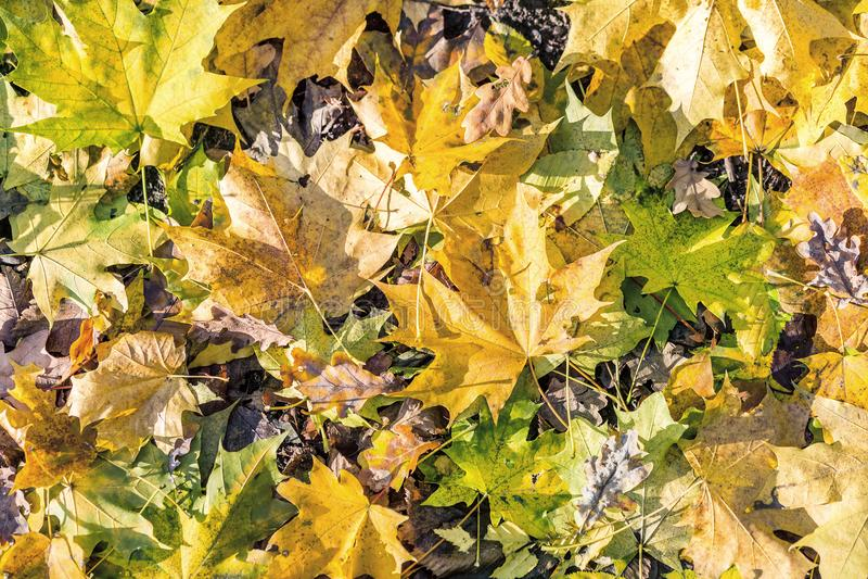 Fundo do outono Folha alaranjada seca em tons lisos Folhas caídas na floresta underfoot Teste padrão maçante do tom da queda foto de stock