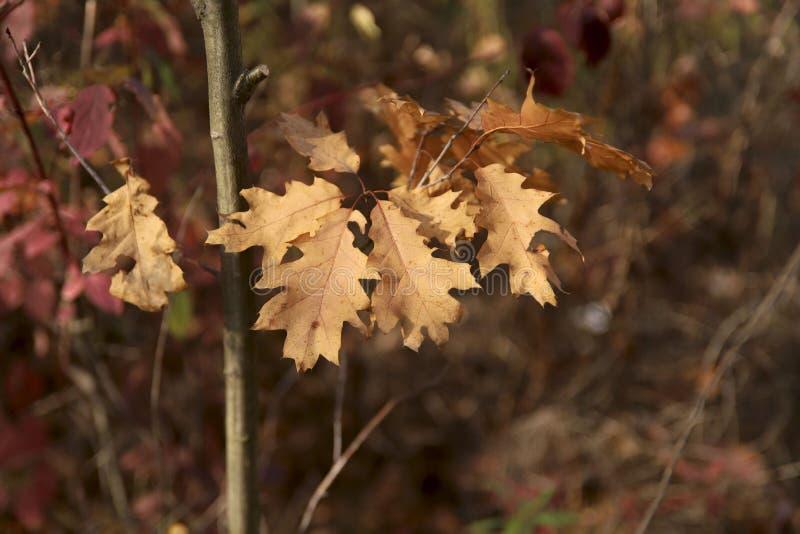 Fundo do outono Um ramo com as folhas secas do carvalho em um dia ensolarado contra um fundo do bokeh imagens de stock royalty free