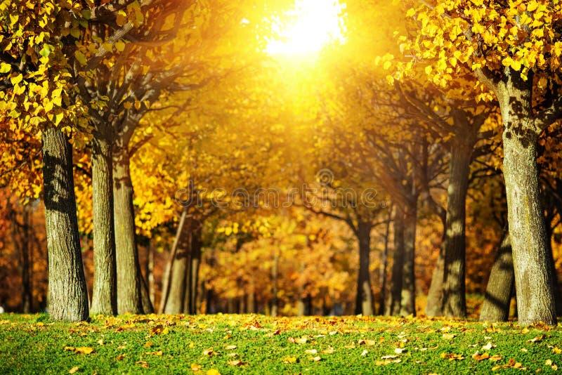 Fundo do parque do outono Aleia no parque com as árvores cobertas dentro fotografia de stock royalty free