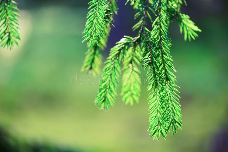 Fundo do pinheiro, do foco seletivo, o obscuro e do bokeh Copie o espaço bandeira Orvalho da manhã no galho, natural abstrato imagens de stock royalty free
