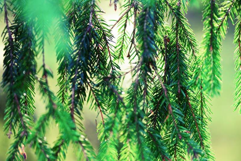 Fundo do pinheiro, do foco seletivo, o obscuro e do bokeh Copie o espaço bandeira Orvalho da manhã no galho, natural abstrato imagens de stock
