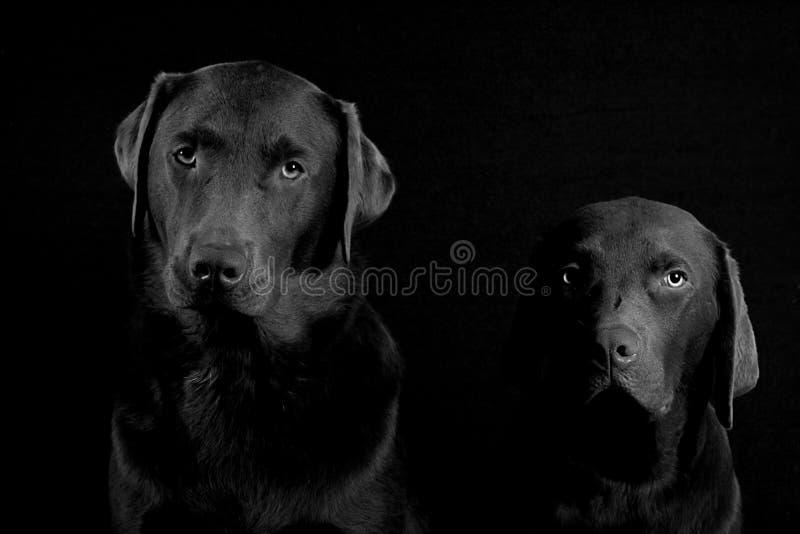 Fundo do preto do filhote de cachorro do laboratório fotos de stock royalty free