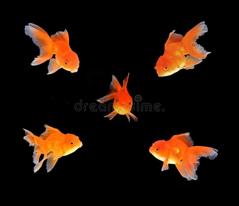 Fundo do preto dos peixes do ouro foto de stock royalty free