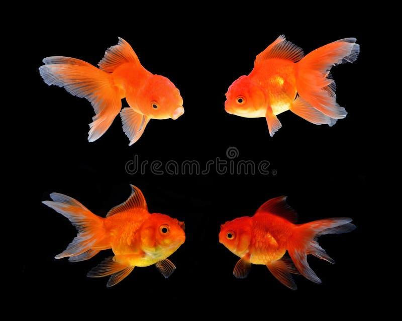 Fundo do preto dos peixes do ouro imagem de stock royalty free