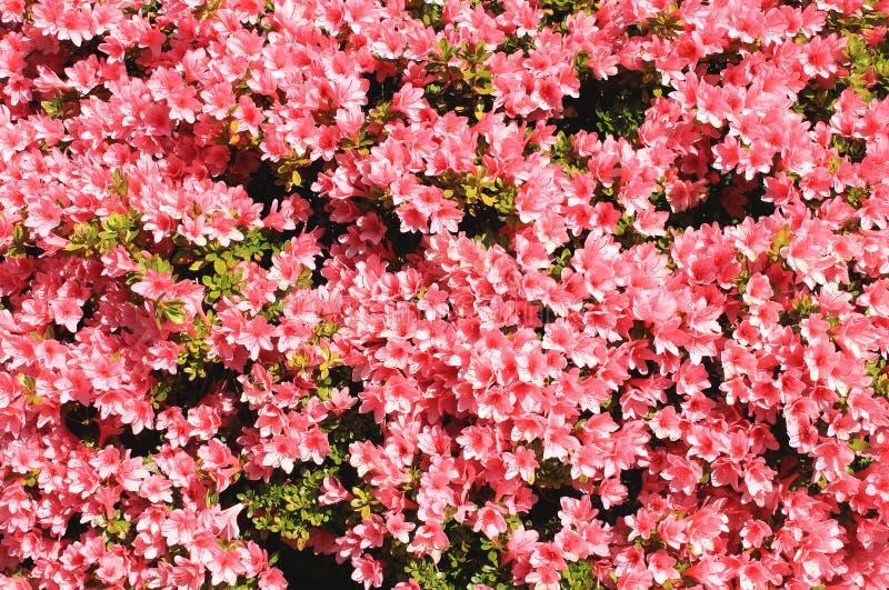 Fundo do rododendro imagens de stock