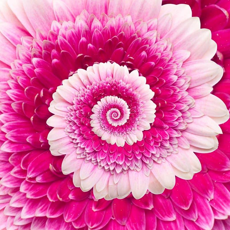 Fundo do sumário da espiral da infinidade da flor de Gerber fotografia de stock